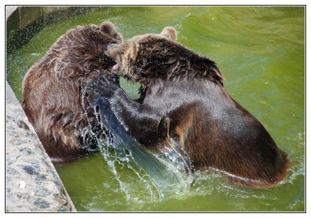 GCNPC7 - Dva medvědi