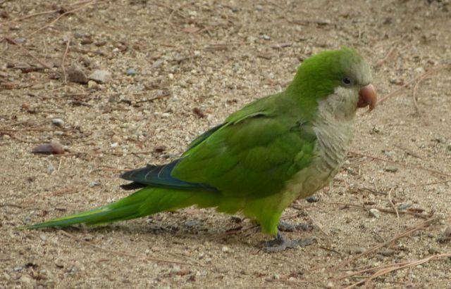 Papoušek mniší