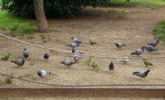 Holubi a papoušci v parku v Barceloně