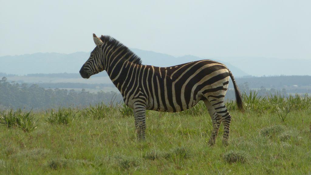 Zebra stepní