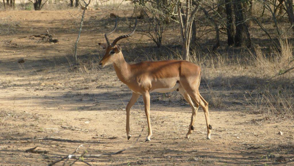Impala jihoafrická - samec