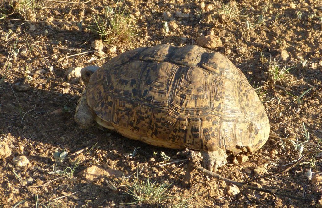 Kruger - želva pardálí