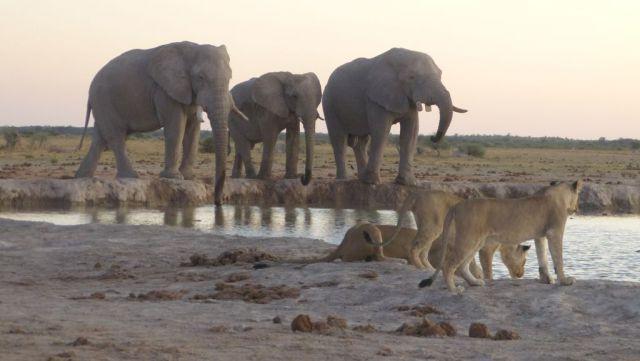 Sloni a Lvi - Nxai Pan