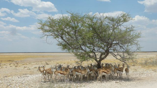 Etosha - antilopy skákavé