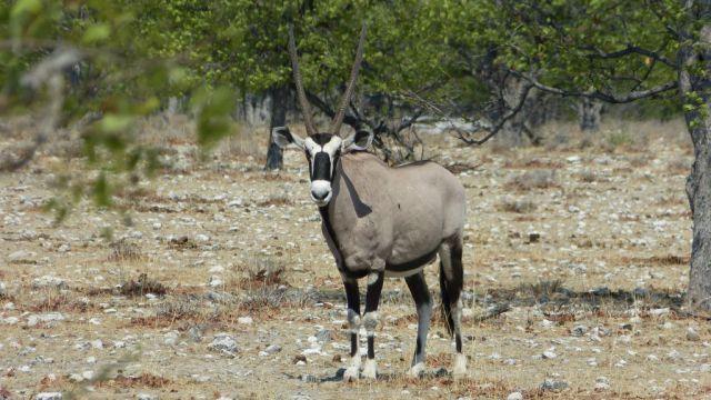 Přímorožec jihoafrický