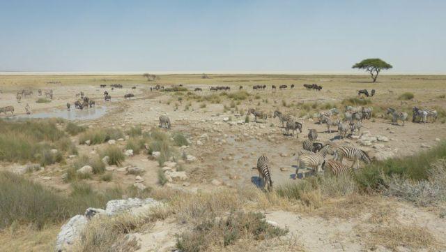 Etosha - zebry a pakoně