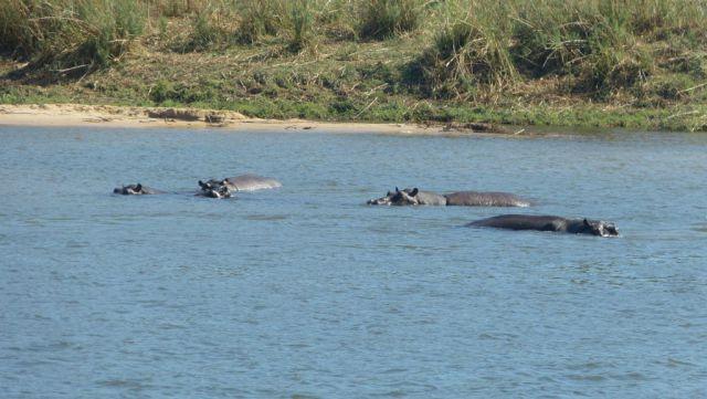 Okavango - hroši