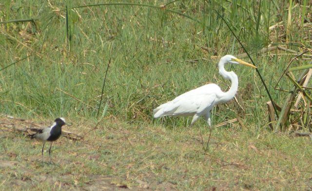 Volavka bílá a čejka běločelá