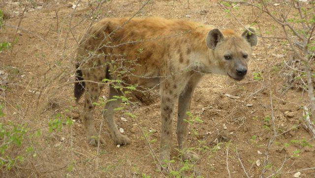Hyena skvrnitá