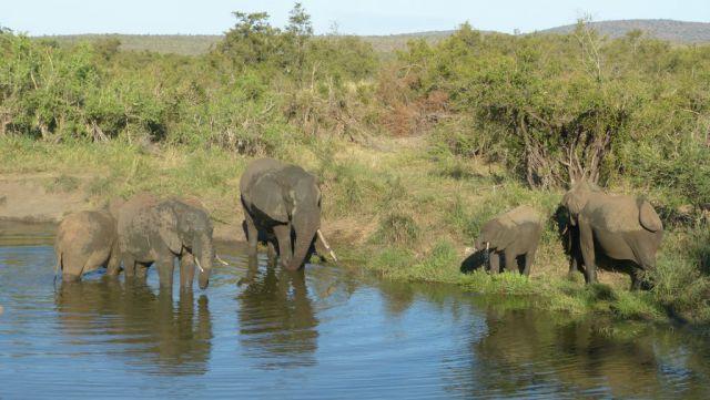 Kruger - sloni