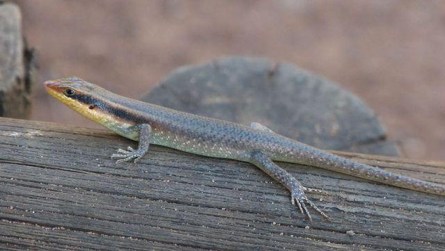 Mabuja páskovaná - samec