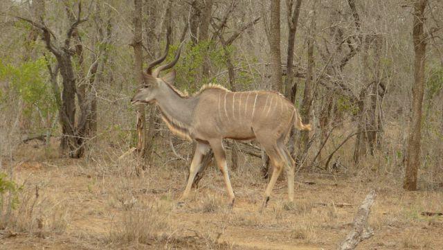 Kudu velký - samec
