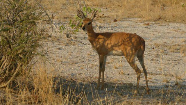Antilopa trávní