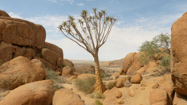 Spitzkoppe - Quiver Tree