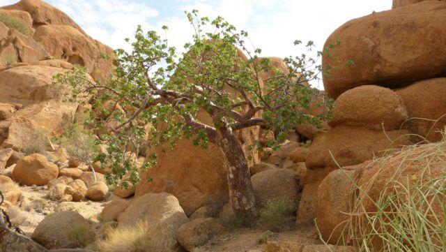 Spitzkoppe - Tick Tree