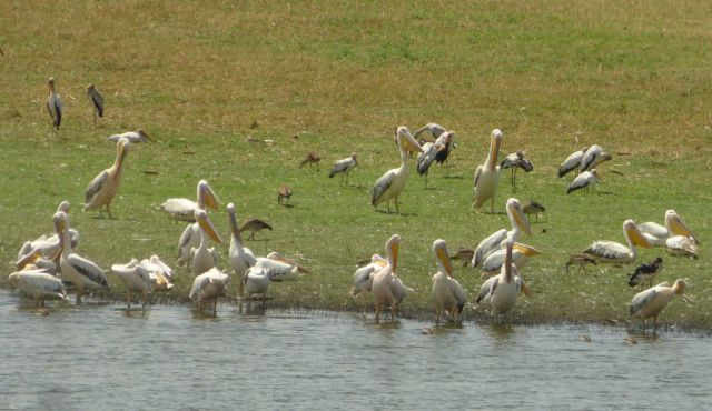 Řeka Chobe - vodní ptáci