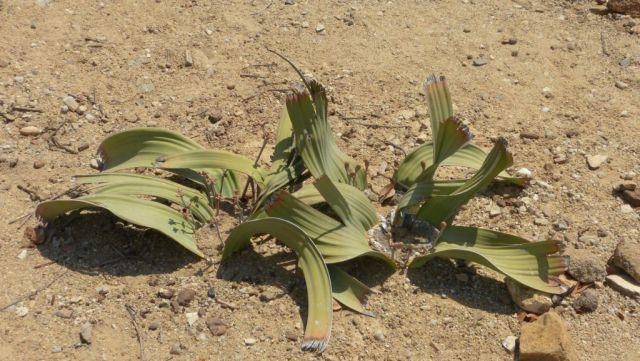 Welwitschie podivná