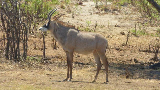 Antilopa koňská