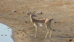 Impala černočelá