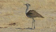 Drop kori - nejtěžší létavý pták v Africe