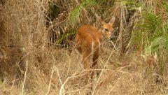 Viktoriiny vodopády - antilopa