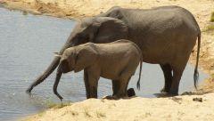 Slon africký - samice s mládětem