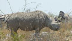 Nosorožec dvourohý jihozápadní