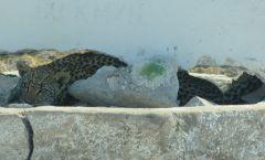 Levhart africký