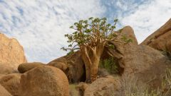 Spitzkoppe - Butter Tree