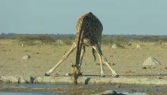 Žirafa jižní
