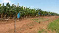 Dračí hory - banány