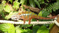 Curych - ZOO - Masoala - chameleon
