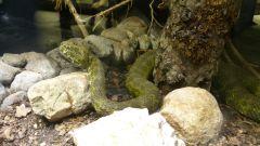 Aquatis - chřestýšovec mangšanský