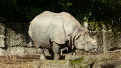 ZOO Basilej - nosorožec indický
