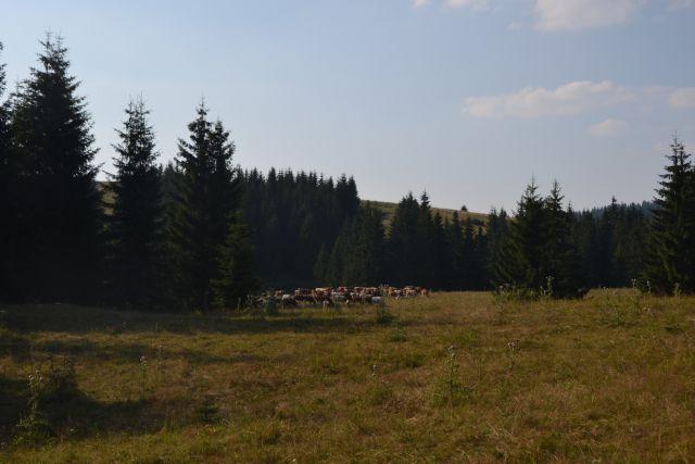 13 07 29 17.24.51 Ovce a krávy, mezi nimi byl vidět i bača se psy